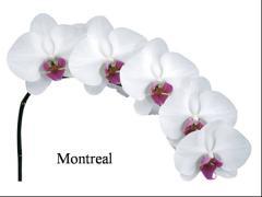 Montreal kesme çiçek orkide