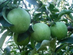 Elma Fidanı GRANNY SMİTH