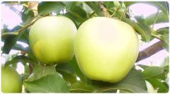 Elma Fidanı, GOLDEN REİNDERS