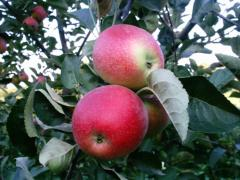 Elma Fidanı SUMMER RED