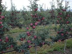 Elma fidanı SCARLET SPUR