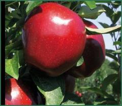 Elma Fidanı, SUPER CHİEF