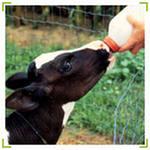 Yem katkısı-Kallforte calf