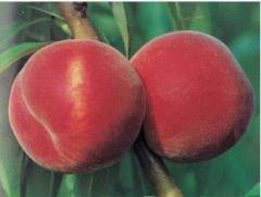 Şeftali Fidanı Red Elegant