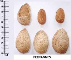 Badem Fidanı Ferragnes