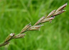Çim tohumları Lolium-Perenne