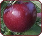 Elma fidanları-VISTA BELLA