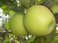Elma Çeşitlerinden Golden Elma Üretimi ve Uygulamaları