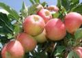 Elma Çeşitlerinden Mondial Gala Üretimi ve Uygulamaları
