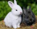 Evcil tavşan