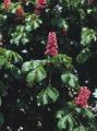 Seedlings of chestnut