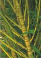 Bambusa aurea – Bambu