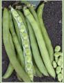 Sebzelerden bakla Tohumları Üretimi ve Uygulamaları