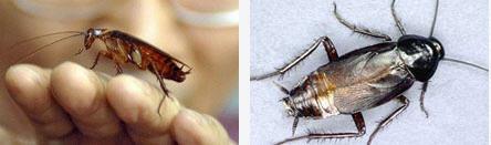 Sipariş Kalorifer Böceği İlaçlama Hizmeti