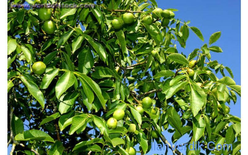 Sipariş Ceviz Fidanı | Badem Fidanı | walnut trees | almond trees |