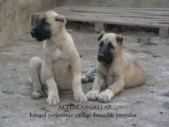 Köpek Pansiyonu Altın Kangal Çiftliği