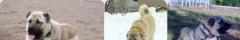 Kangal Köpek Yetişkin Satışları