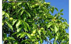 Ceviz Fidanı | Badem Fidanı | walnut trees | almond trees |