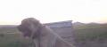 Damızlık kangal köpekleri