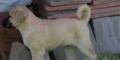 Yavru Kangal Yetiştiriciliği Uygulamaları Hizmetleri